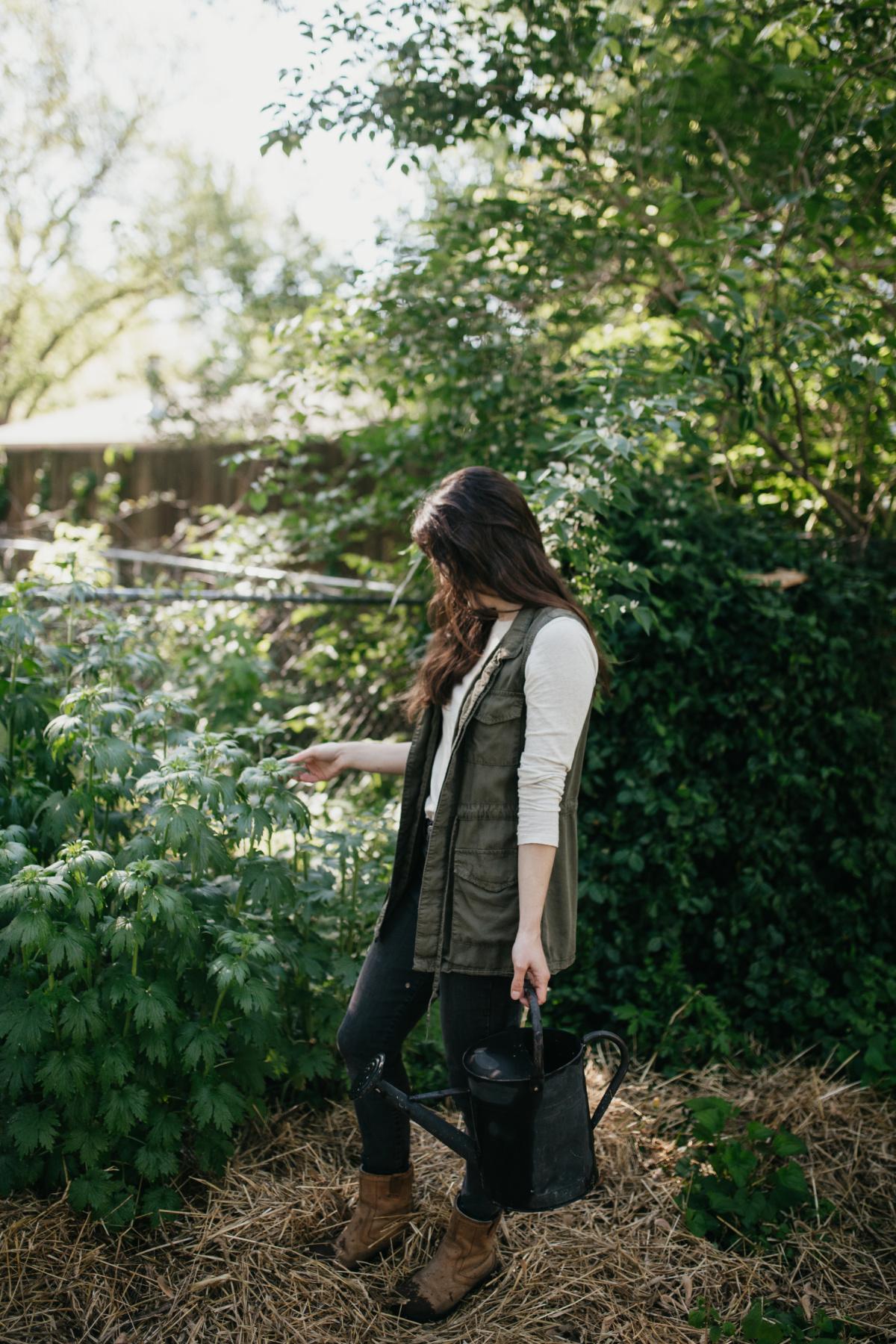 woman harvesting motherwort
