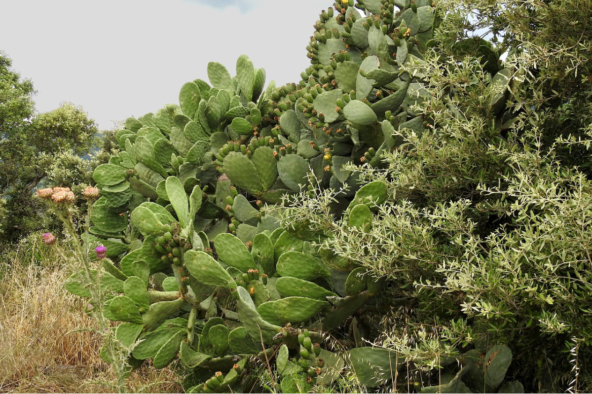 large group of prickly pear cactus in the wild