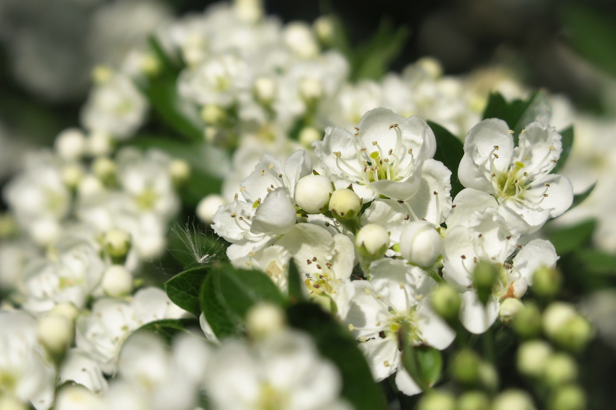 closeup of hawthorn growing outside